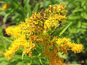 Solidago, ou Verge d'or